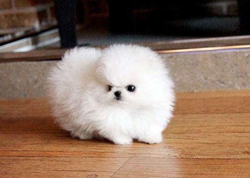 Baby Teacup Pomeranian 3