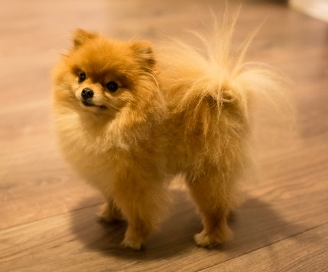 How Long Do Teacup Pomeranians Live 1