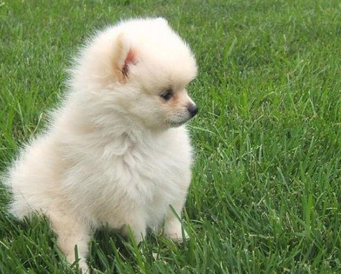 How Long Do Teacup Pomeranians Live 3