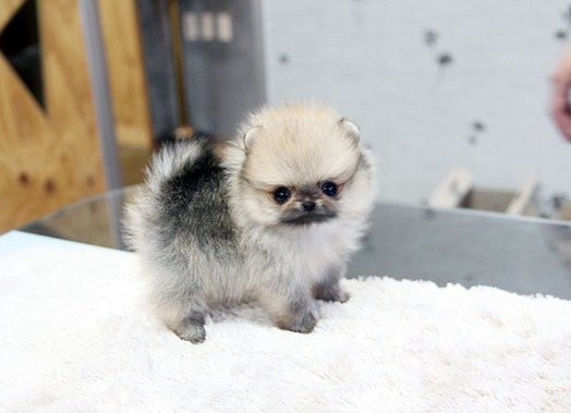 Miniature Teacup Pomeranian 3
