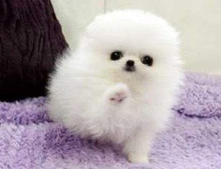 Teacup Pomeranian For Free 1