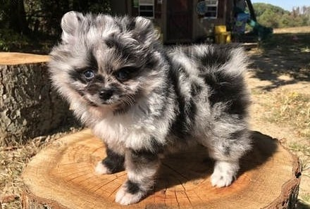 Teacup Pomeranian For Free 3