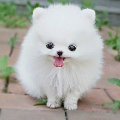 Teacup Pomeranian Rescue 2