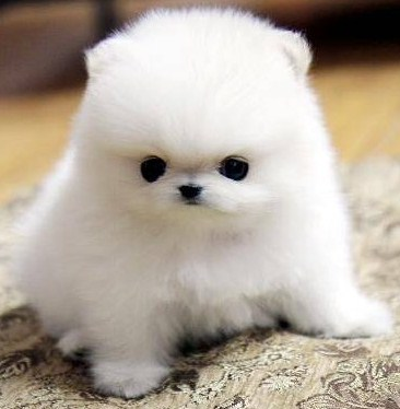 Teacup Pomeranian Rescue 4