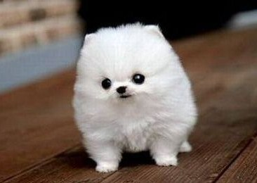 Tiny Teacup Pomeranians under $200 Cheap 1