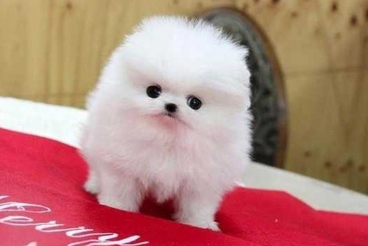 Tiny Teacup Pomeranians under $200 Cheap | Teacup Pomeranian