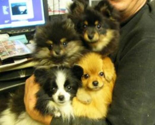 AKC Pomeranian Breeders | Teacup Pomeranian