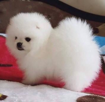 Teacup Pomeranian For 100 Dollars
