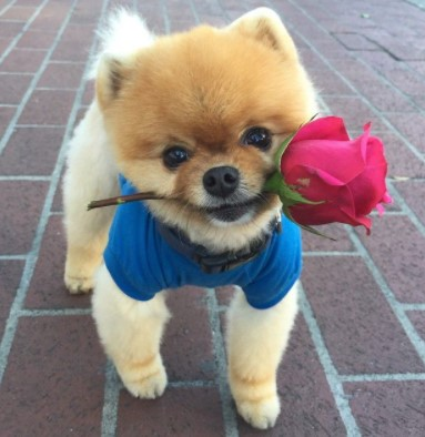 About Jiffpom the Most Famous Pomeranian