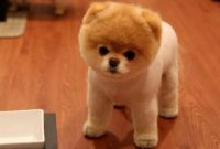 About Pomeranian Teddy Bear Cut
