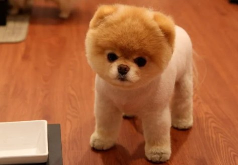 About Pomeranian Teddy Bear Cut