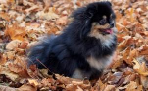 Black and Tan Pomeranian