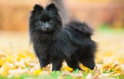 Black pomeranian-