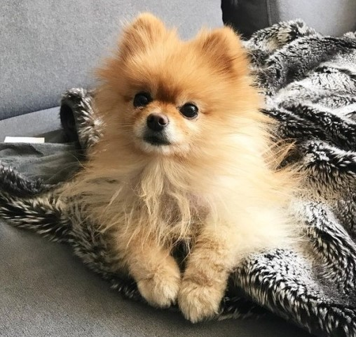 Bread for pomeranian