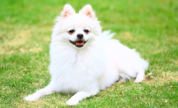 Can Pomeranian Live in Hot Weather