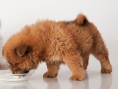 Can Pomeranians Drink Milk