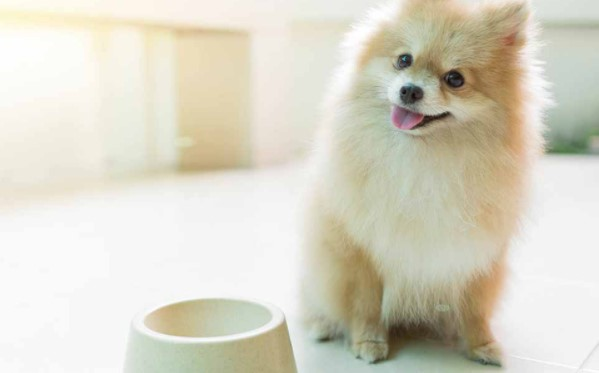 Can Pomeranians Eat Eggs