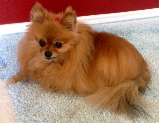 Can Pomeranians Stay Home Alone