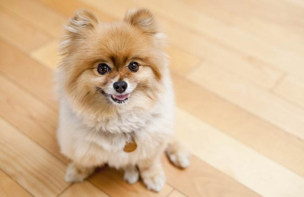 Can a Pomeranian Live in an Apartment