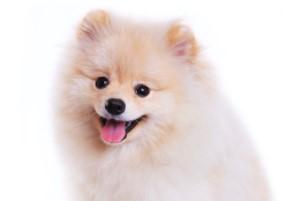 Cream Pomeranian