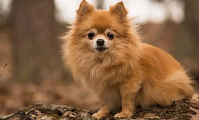 Do Pomchi Dogs Bark a Lot