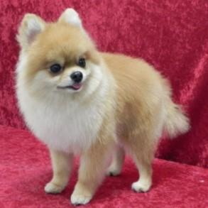 Foxy Pomeranian