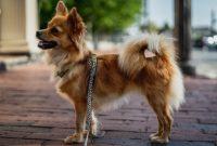 How Big Will a Chihuahua Pomeranian Mix Get