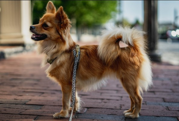 How Big Will a Chihuahua Pomeranian Mix Get