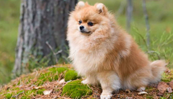 How Long Can Pomeranians Hold Their Bladder