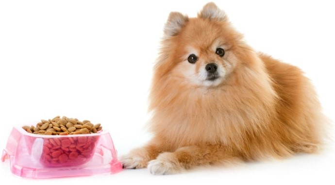 How Long Can a Pomeranian Go without Eating