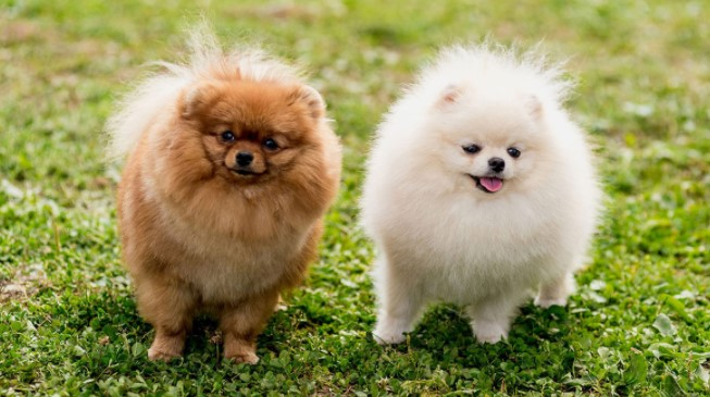 How Long Pomeranians Hold Their Pee