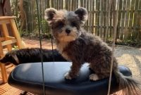 How Much Does a Pomeranian Yorkie Mix Cost