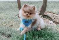 How Much is a Lavender Pomeranian