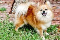 How Smart Are Pomchis (Pomeranian Chihuahua)
