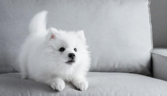 How to Calm Down a Hyper Pomeranian