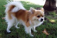 How to Find Pomeranian Chihuahua Mix for Sale Near Me