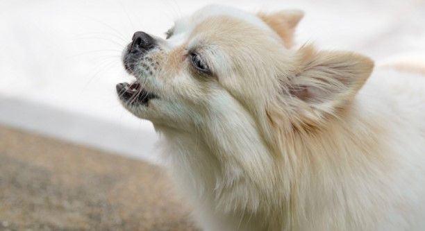 How to Stop a Pomeranian from Whining