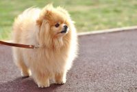 How to Teach a Pomeranian to Walk on a Leash