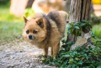 How to Train a Pomeranian Puppy to Pee Outside