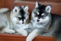 Husky and Pomeranian