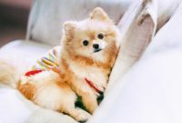 Ideal Room Temperature for Pomeranian