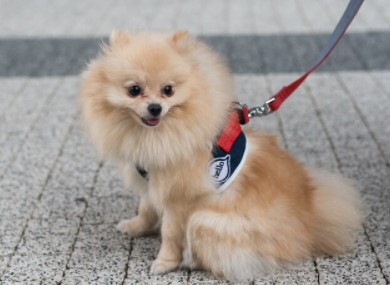 Leash Trick pomeranian