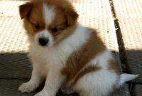 Maltese Shih Tzu Pomeranian Mix for Sale