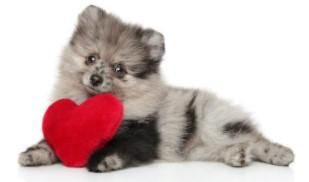 Merle Pomeranian
