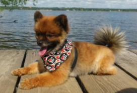 Pomeranian Haircut Puppy Cut
