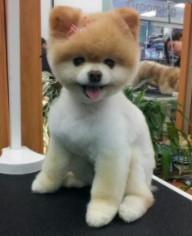 Pomeranian Haircut Teddy Bear