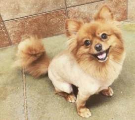 Pomeranian Lion Haircut Samples