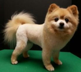 Pomeranian Lion Haircut Samples1