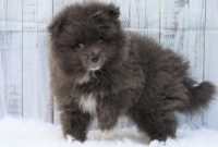Pomeranian Puppies Under $1000