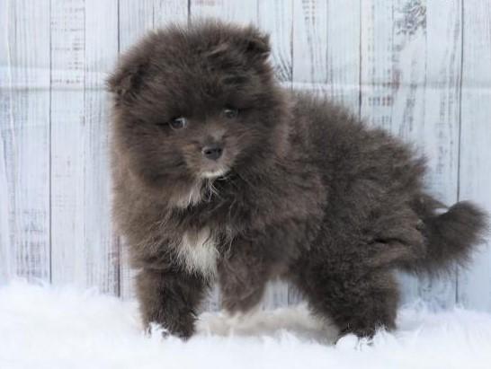 Pomeranian Puppies Under $1000